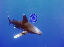 S-S-S-SHARK....Oceanic white tip
