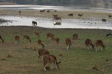 Deer grazing at the waterhole