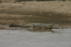 The rare Gharial crocodile - we managed to see 4 of these