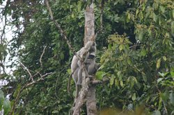 A langur monkey with her baby
