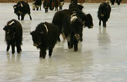 Ice Skating Yaks