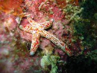 A colourful starfish