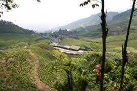 A tea plantation on the highway running through Java