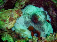An octopus finds shelter on the Cement Wreck