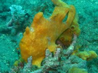The odd looking painted frogfish