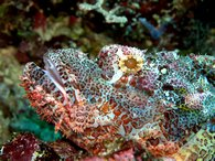 A scorpion fish sits still for a photo