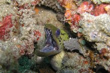 A moray tucked away in a crack