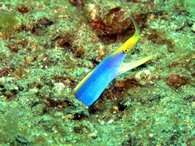 A blue ribbon eel sticks it's head out for a nosey