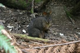Tasmanian pademelon with joey