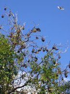 Flying foxes hanging everywhere